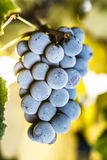Wine grapes. Cluster on the vine Royalty Free Stock Image
