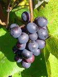 Wine Grapes. Bunch of Grapes at Vineyard Stock Photo
