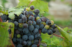 Wine grapes. A net protects wine grapes from birds stock photo