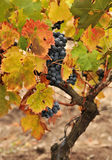 Wine grapes Stock Photos