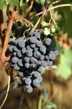 Wine Grapes. A grape of italian sangiovese Stock Images