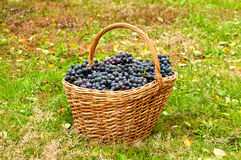 Wine grapes in basket stock images