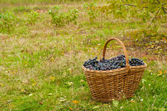 Wine grapes in basket Stock Image