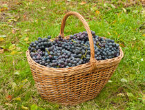 Wine grapes in basket Stock Photo