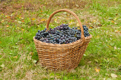 Wine grapes in basket Stock Photos