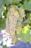 Wine grapes. Royalty Free Stock Images