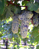 Wine grapes. Stock Photo