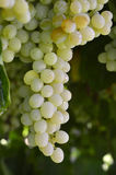 Wine grapes. Royalty Free Stock Photo