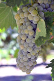 Wine grapes. Wine grapes beautiful ripe juicy on a branch on a farm in California Royalty Free Stock Images