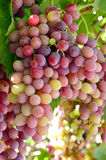 Wine grapes. Wine grapes beautiful ripe juicy on a branch on a farm in California Royalty Free Stock Photos