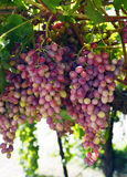 Wine grapes. Wine grapes beautiful ripe juicy on a branch on a farm in California Stock Image