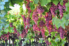 Wine grapes. Royalty Free Stock Photos