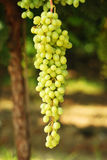 Wine grapes. Wine grapes beautiful ripe juicy on a branch on a farm in California Royalty Free Stock Photo