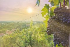 Wine grapes of the blue Portugieser ripen in the sun of central germany royalty free stock images