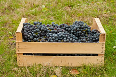 Wine grapes in box Stock Photos