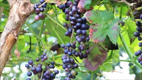 Wine grapes on bush stock footage