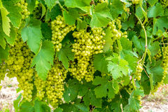 Wine grapes in Charente Maritime, France Stock Image