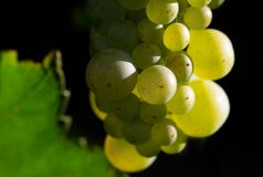 WIne grapes close-up. Close-uo of tasty wine grapes Royalty Free Stock Photos
