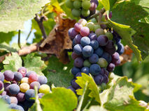 Wine Grapes. Close up of organic wine grapes Royalty Free Stock Photo