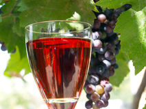 Wine Grapes. Close up of organic wine grapes royalty free stock image