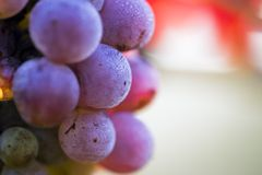 Wine grapes close-up Stock Image