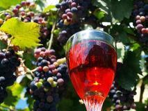 Wine Grapes. Closeup of organic wine grapes and wineglass with wine Royalty Free Stock Images