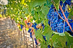 Wine grapes detail Royalty Free Stock Photos