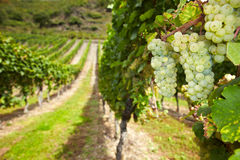 Wine grapes in German vineyard Royalty Free Stock Images