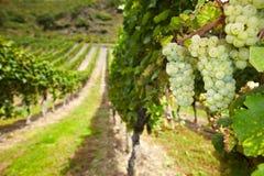 Wine grapes in German vineyard. White wine Riesling grapes in German vineyard in autumn Royalty Free Stock Images