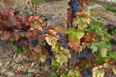 Wine Grapes On Grapevine Grown stock images