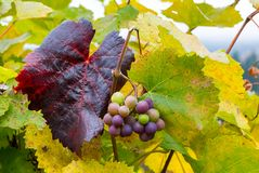 Wine Grapes on Grapevines in Fall Season Oregon USA. Wine grapes on grapevines at winery in Dundee Oregon in fall season United States royalty free stock photos