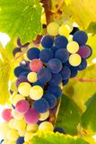 Wine grapes in Greek islands Stock Images