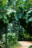 Wine grapes growing Stock Photos