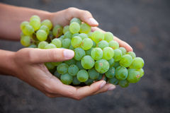Wine grapes growing on the Canary Islands in Spain Stock Photo