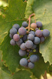 Wine grapes growing on the vine Stock Photo