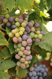 Wine grapes growing on the vine Royalty Free Stock Photo