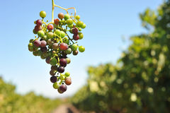 Wine grapes growing on the vine Stock Images
