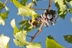 Wine grapes growing on the vine Royalty Free Stock Images