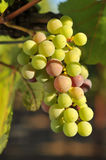 Wine grapes growing on the vine Stock Photography