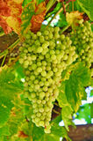 Wine Grapes Growing on the Vine in California royalty free stock photography
