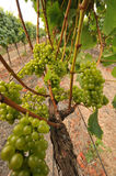 Wine grapes growing on a vine in field Stock Image