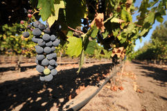 Wine grapes growing on a vine in field royalty free stock photos