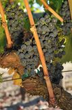 Wine grapes growing on a vine in field Royalty Free Stock Image