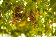 Wine grapes hang from a vine . Royalty Free Stock Photo