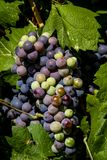 Wine grapes hanging in vineyard Royalty Free Stock Photography
