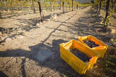 Wine Grapes In Harvest Bins One Fall Morning Royalty Free Stock Images
