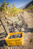 Wine Grapes In Harvest Bins One Fall Morning Royalty Free Stock Image