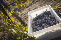 Wine Grapes In Harvest Bins One Fall Morning Royalty Free Stock Photography
