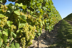 Wine grapes in harvest season Stock Photo