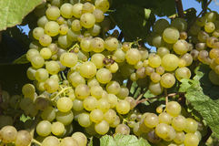 Wine grapes in harvest season Royalty Free Stock Photography